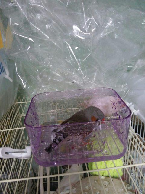 キンカチョウ水浴びの写真
